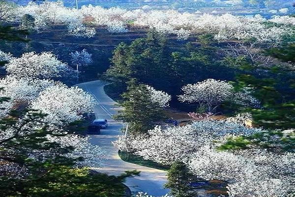 云南有个村子, 漫山梨花盛开, 如同仙境一般